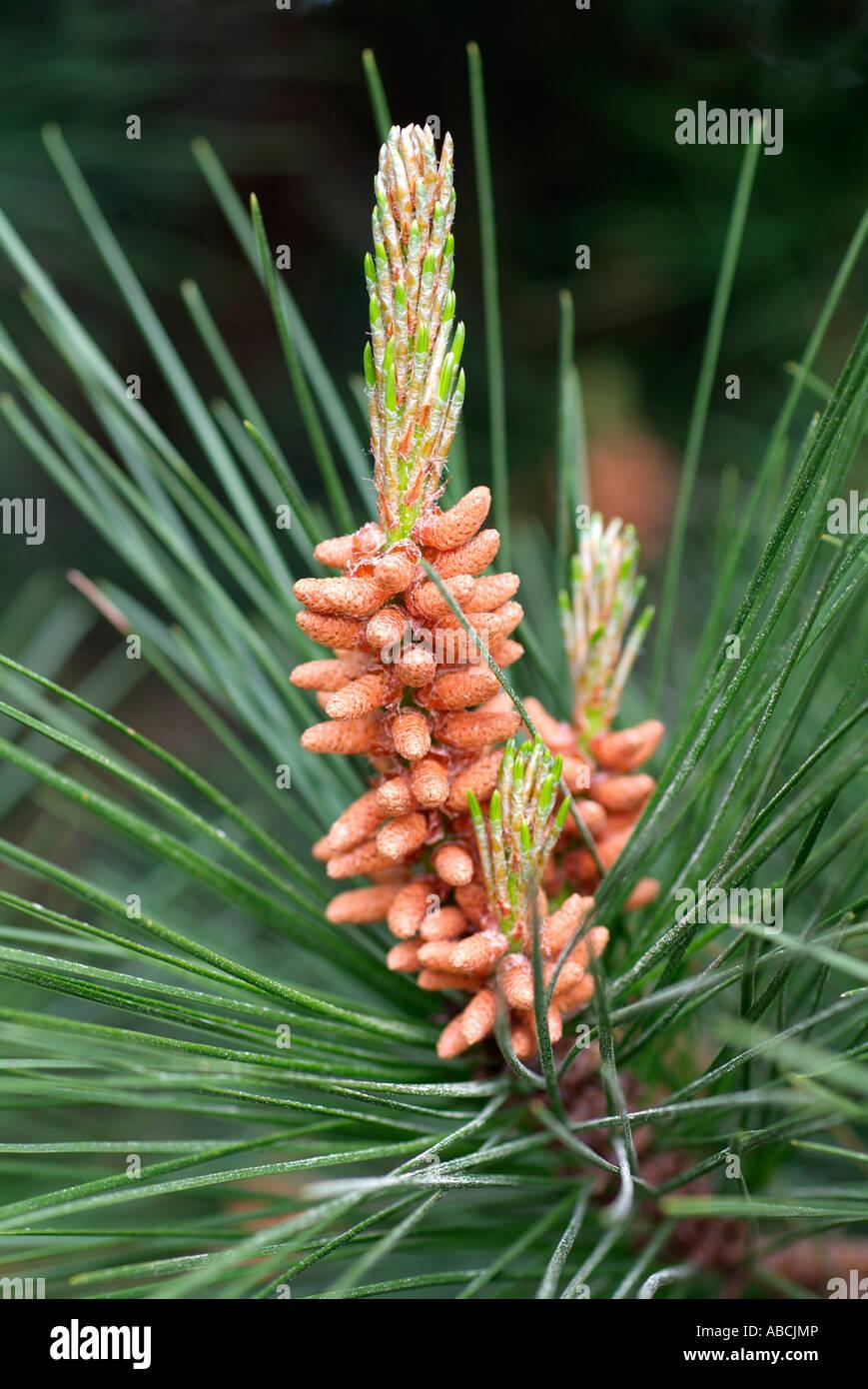 Pin pin mâle Fleur Fleur Fleur botanique plante aiguille macro close close-up libre forêt de conifères conifères naturels masculins Banque D'Images