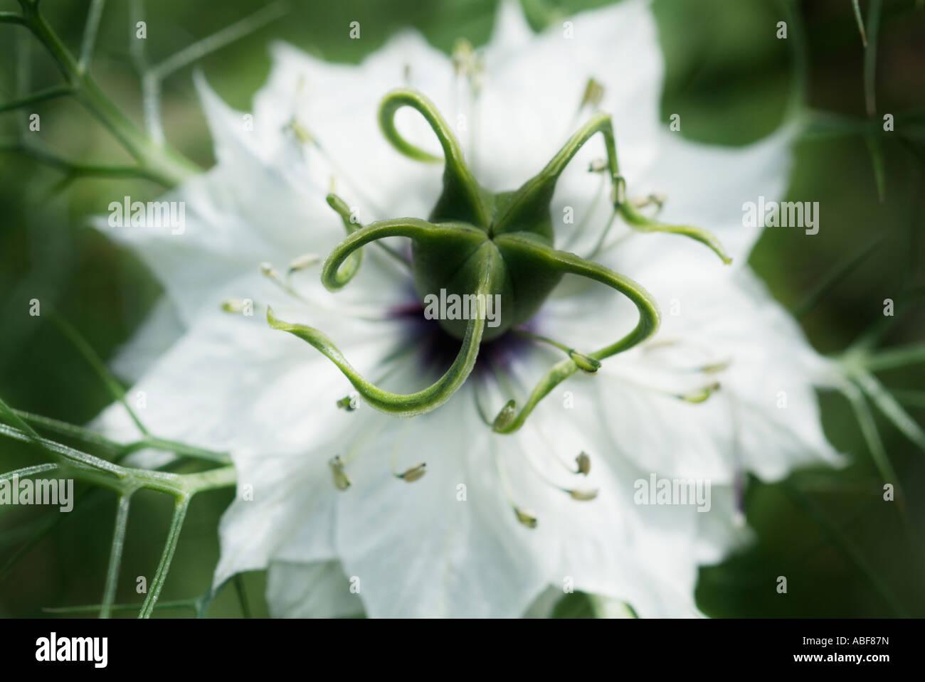 L'amour dans un brouillard blanc Nigella damascena macro close up detail capitule annuel symbole de l'amour Banque D'Images