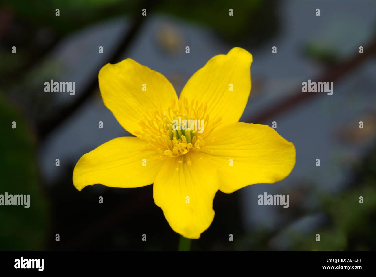 Caltha Palustris Populage des marais d'eau douce jaune fleur plante commune Kingcup les marais boisés humides sauvages d'or lumineux des fossés Banque D'Images