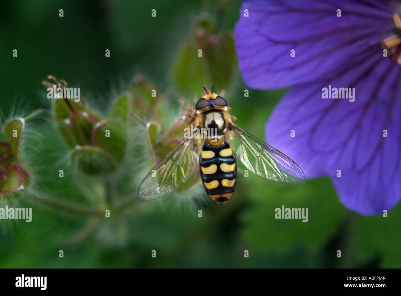 Hoverfly insecte diptère syrphe wasp imiter closeup close up géranium pourpre macro fleur commune England UK Royaume-Uni G Banque D'Images