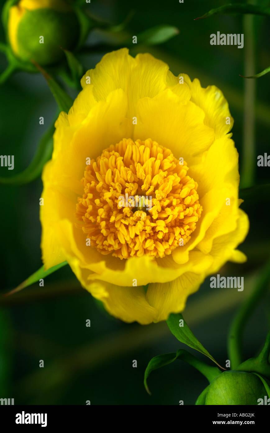 Papaver pavot jaune macro close up Banque D'Images