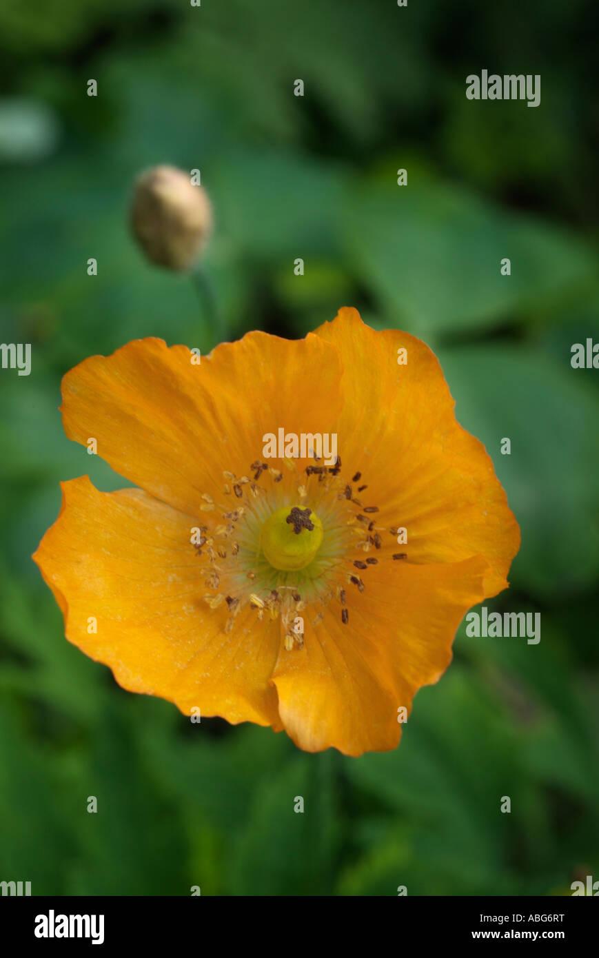 Orange open gallois de pavot fleur papaver papaveraceous seule tête panoramique annuel cultivé cultiver atmosphérique iconique moody cl Banque D'Images