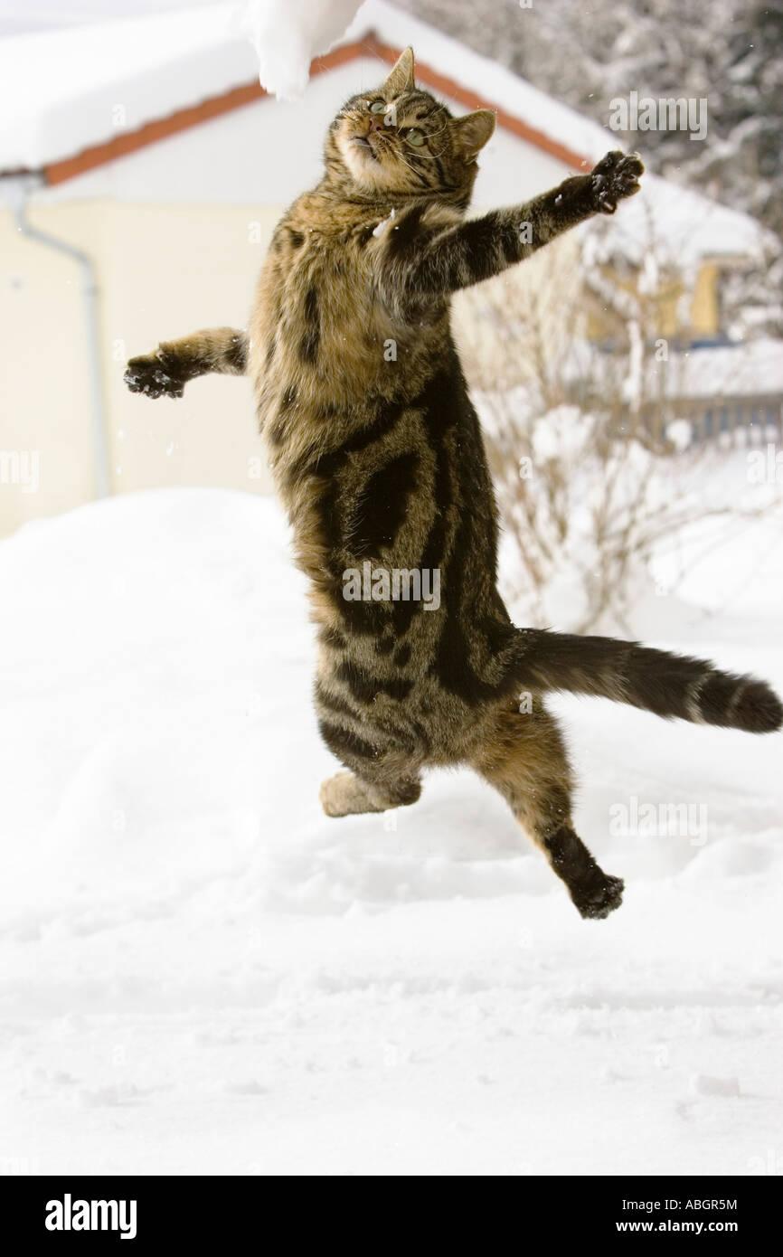 Saut de chat dans la neige, chat domestique, homme, Photo Stock