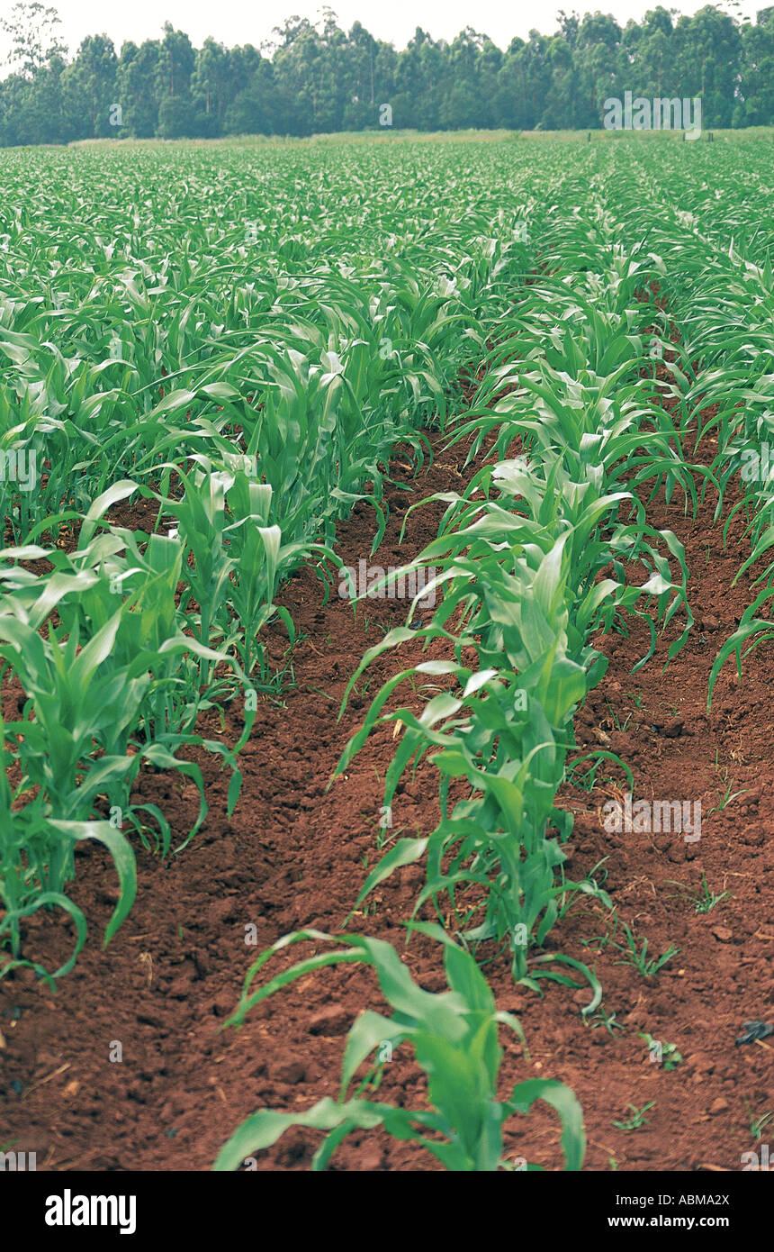Les champs de maïs de l'Afrique du Sud Natal Midlands Photo Stock