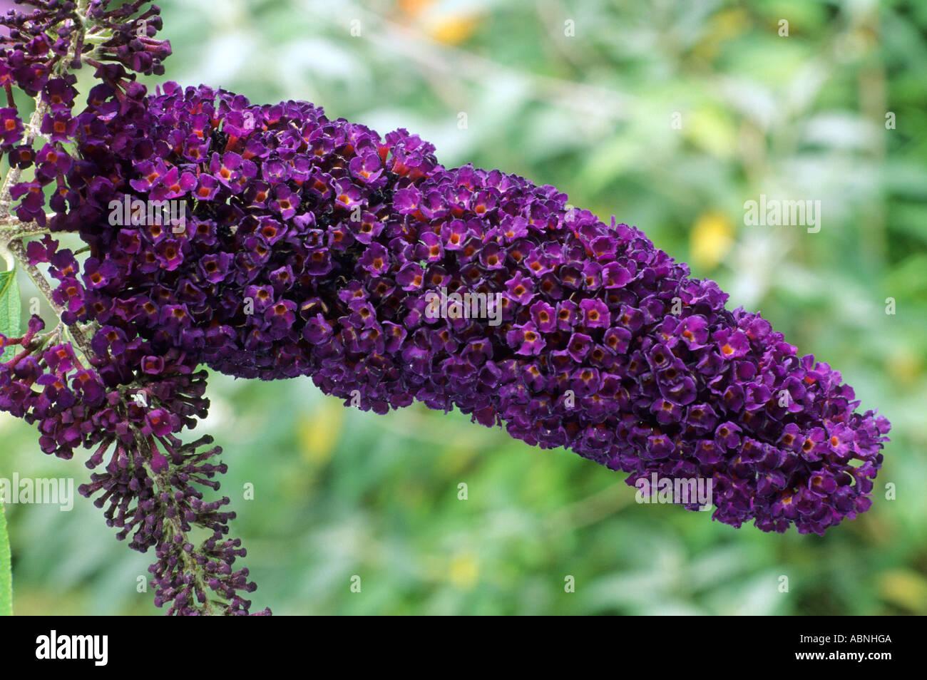 buddleia davidii 'black knight' , arbre aux papillons, fleurs violet