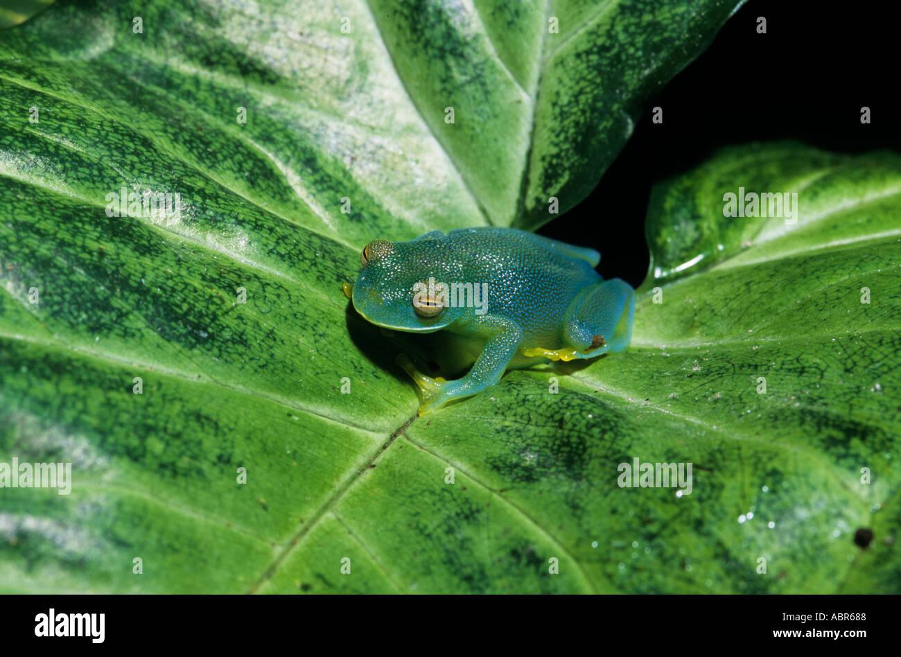 Grenouille Costa Rica monte verde, costa rica. grenouille de verre granulaire (cochranella