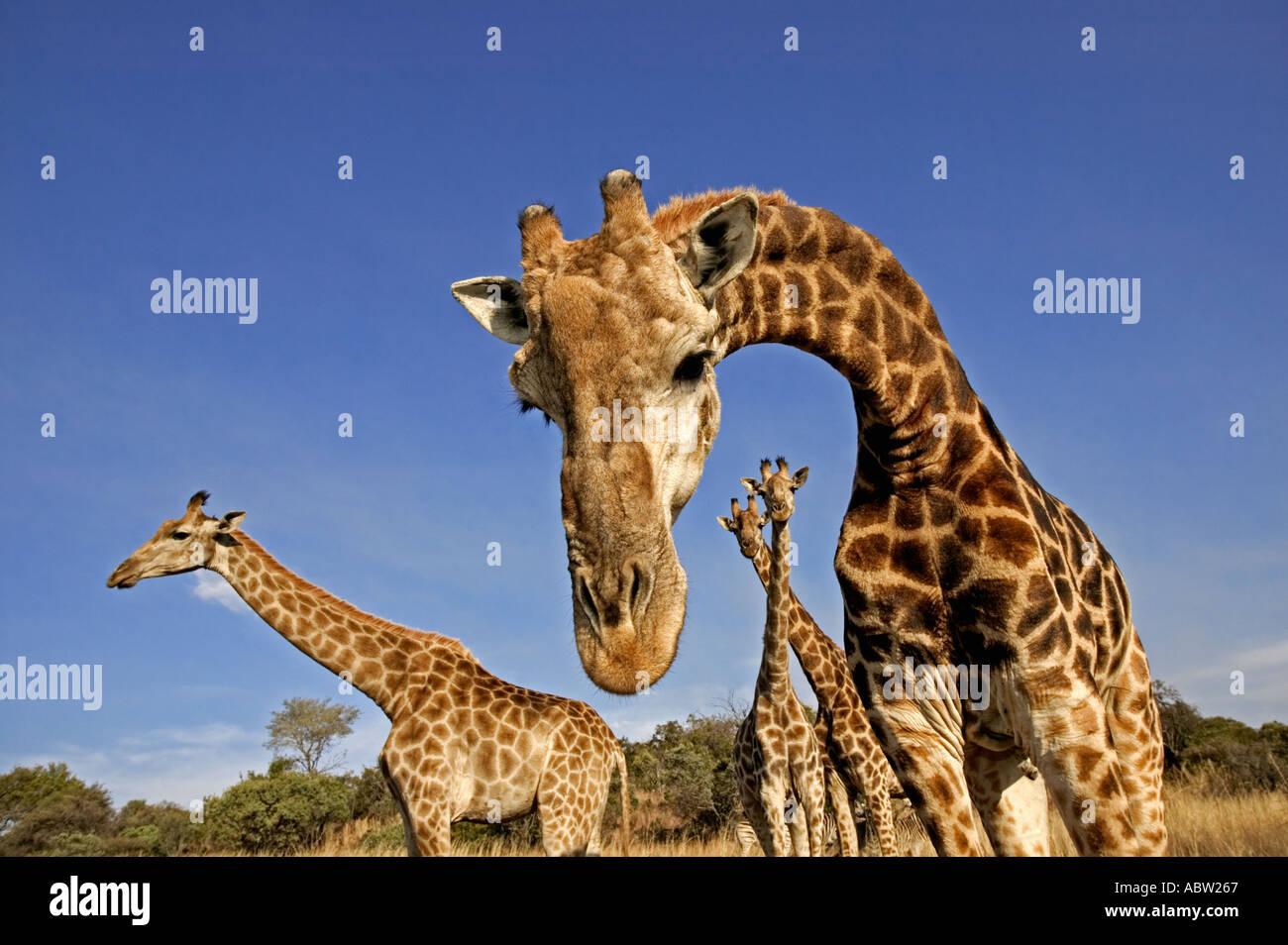 Le sud de Girafe Giraffa camelopardalis giraffa mâles adultes peuvent être de 18 pieds ou 54 mètres de hauteur du Sud Banque D'Images