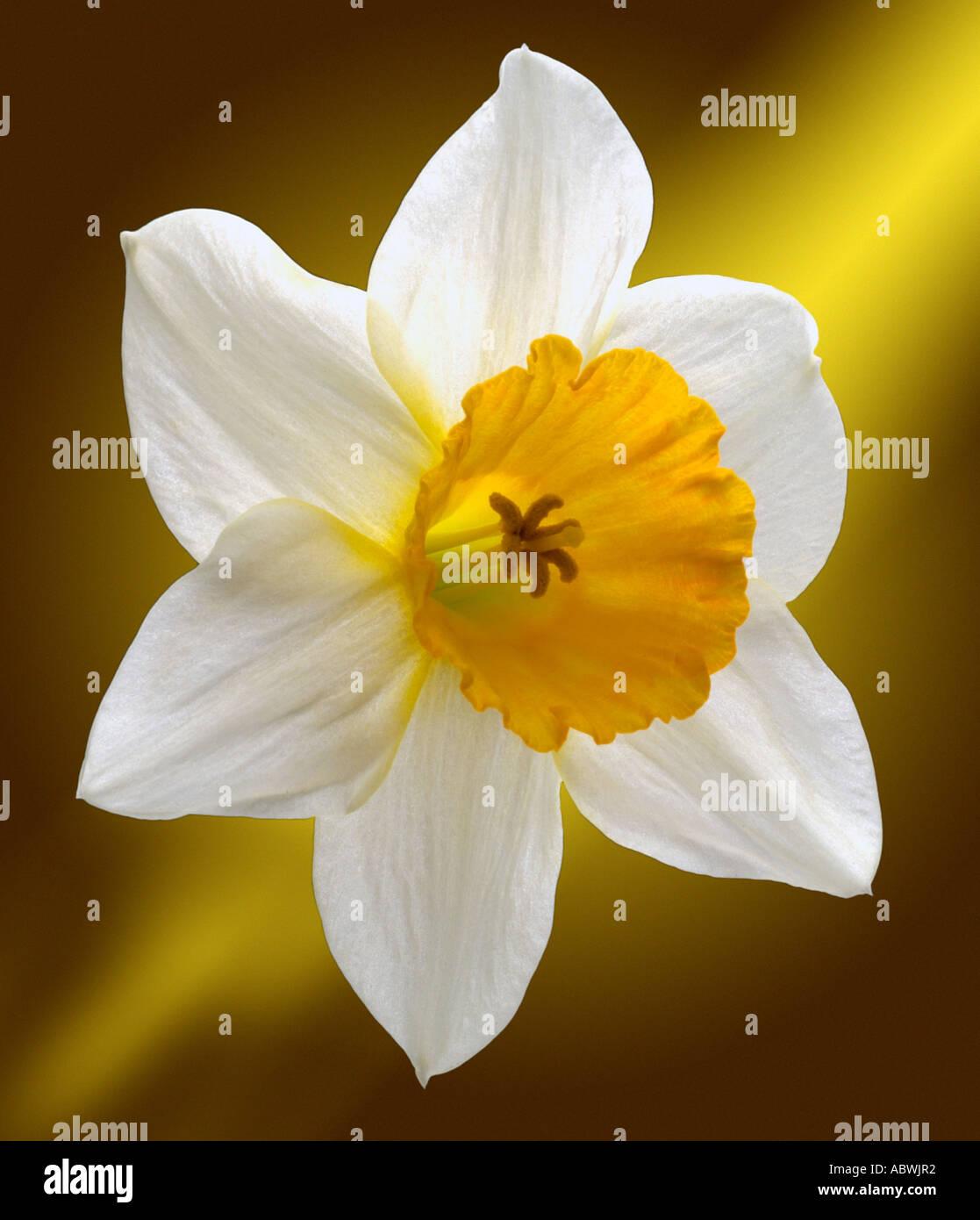 La jonquille narcissus fleurs blanches au début du printemps première close up emblématique de l'atmosphère pittoresque paysage voyage moody classic Banque D'Images
