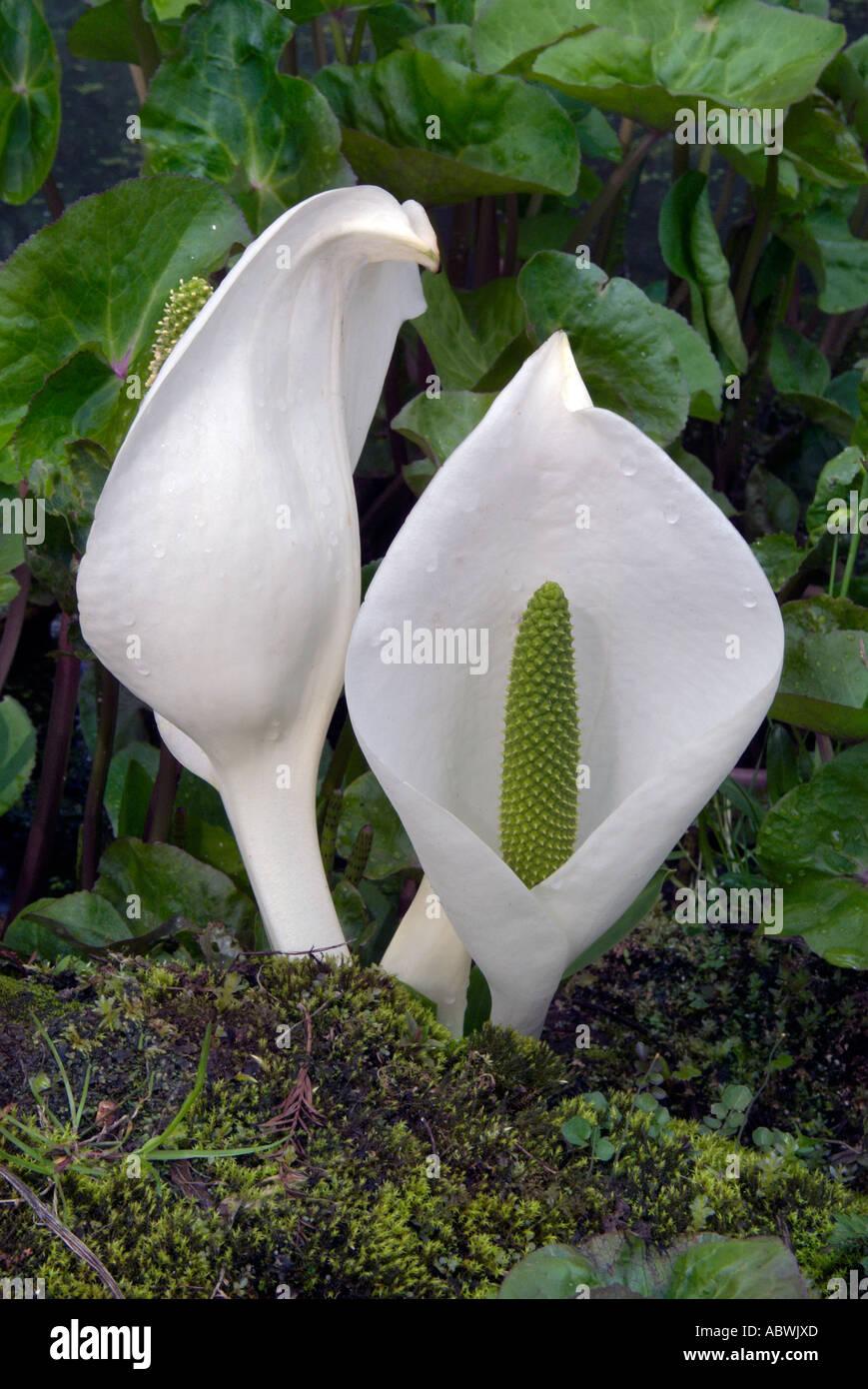 Aram Arum lily jardin de fleurs feuillage crème blanc lys de fleurs sauvages nil araceae spathe tourbière humide étang humide humide close up Banque D'Images