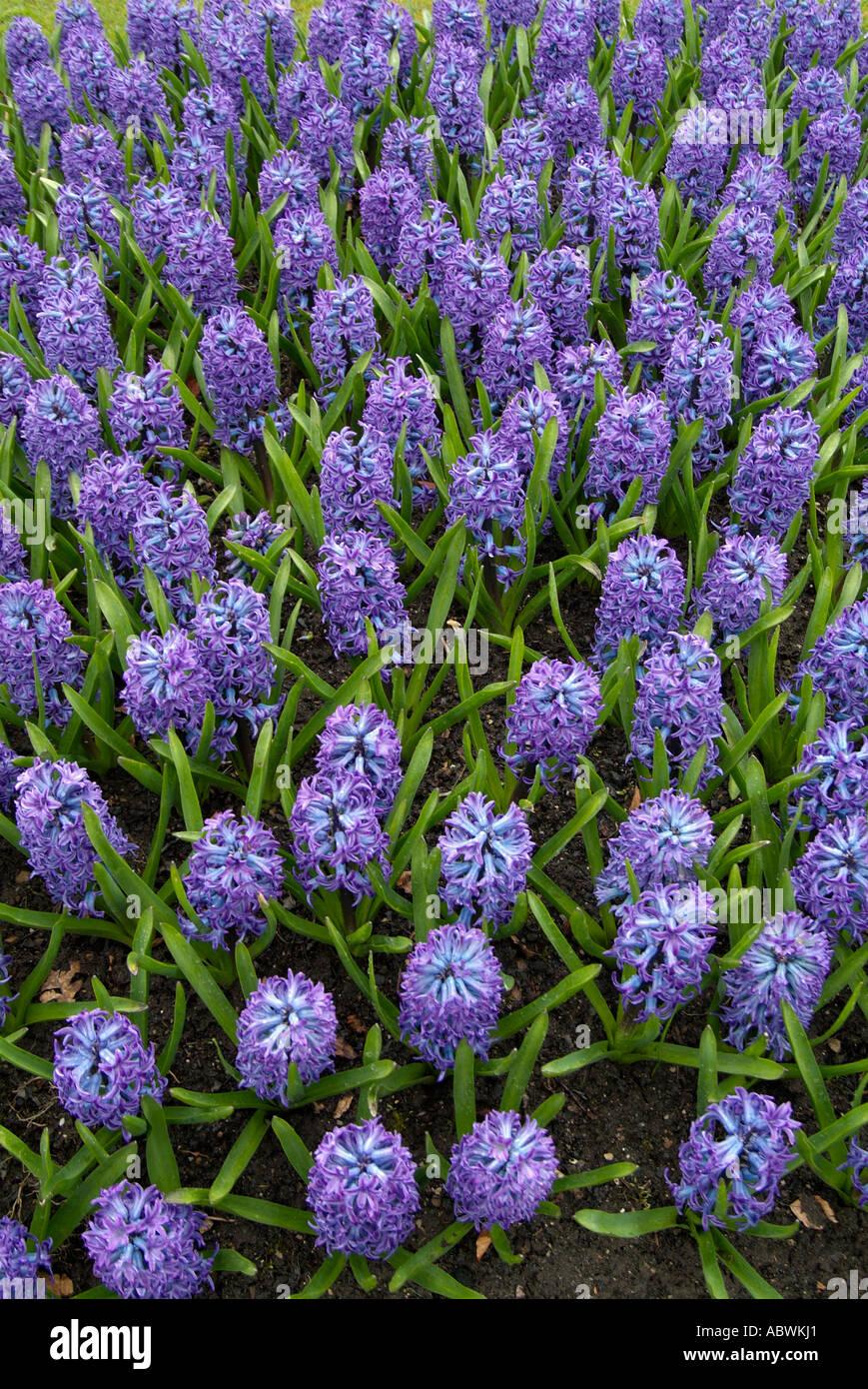 Fleurs feuillage Jacinthe fleur ressort tête lilas pourpre bleu groupe précoce de grande masse close up emblématique pittoresque paysage Banque D'Images