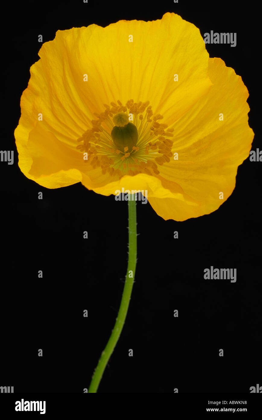 Papaveraceous papaver pavot jaune fleur unique annuel cultivé cultiver Banque D'Images