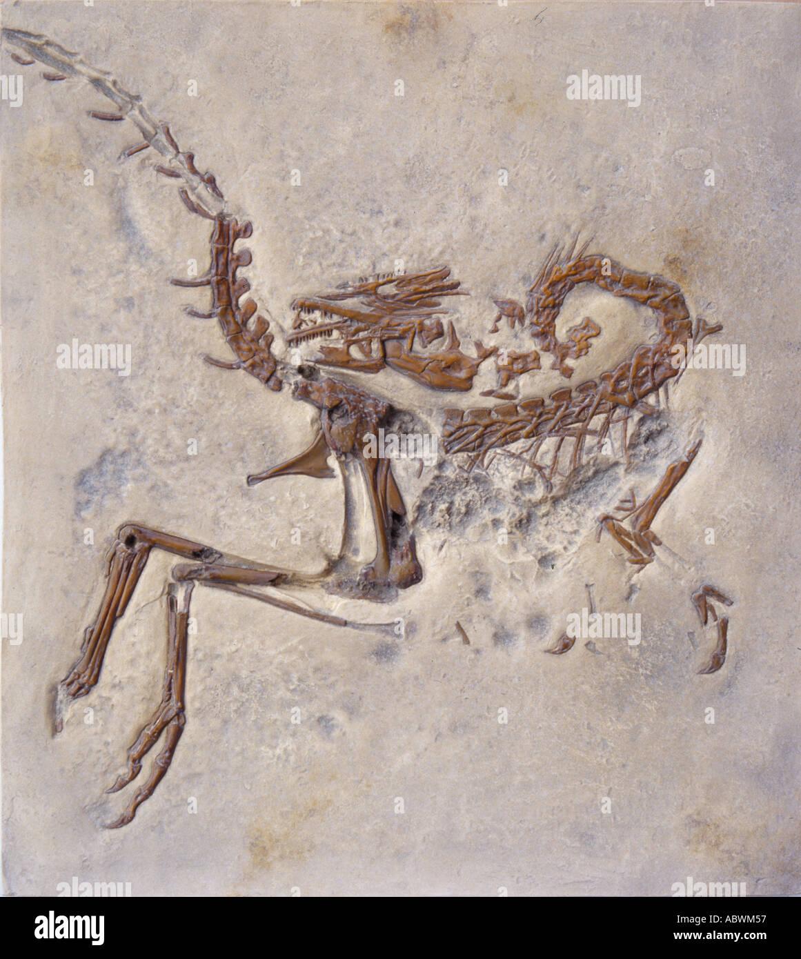 Compsognathus longipes dinosaure Jurassique Photo Stock