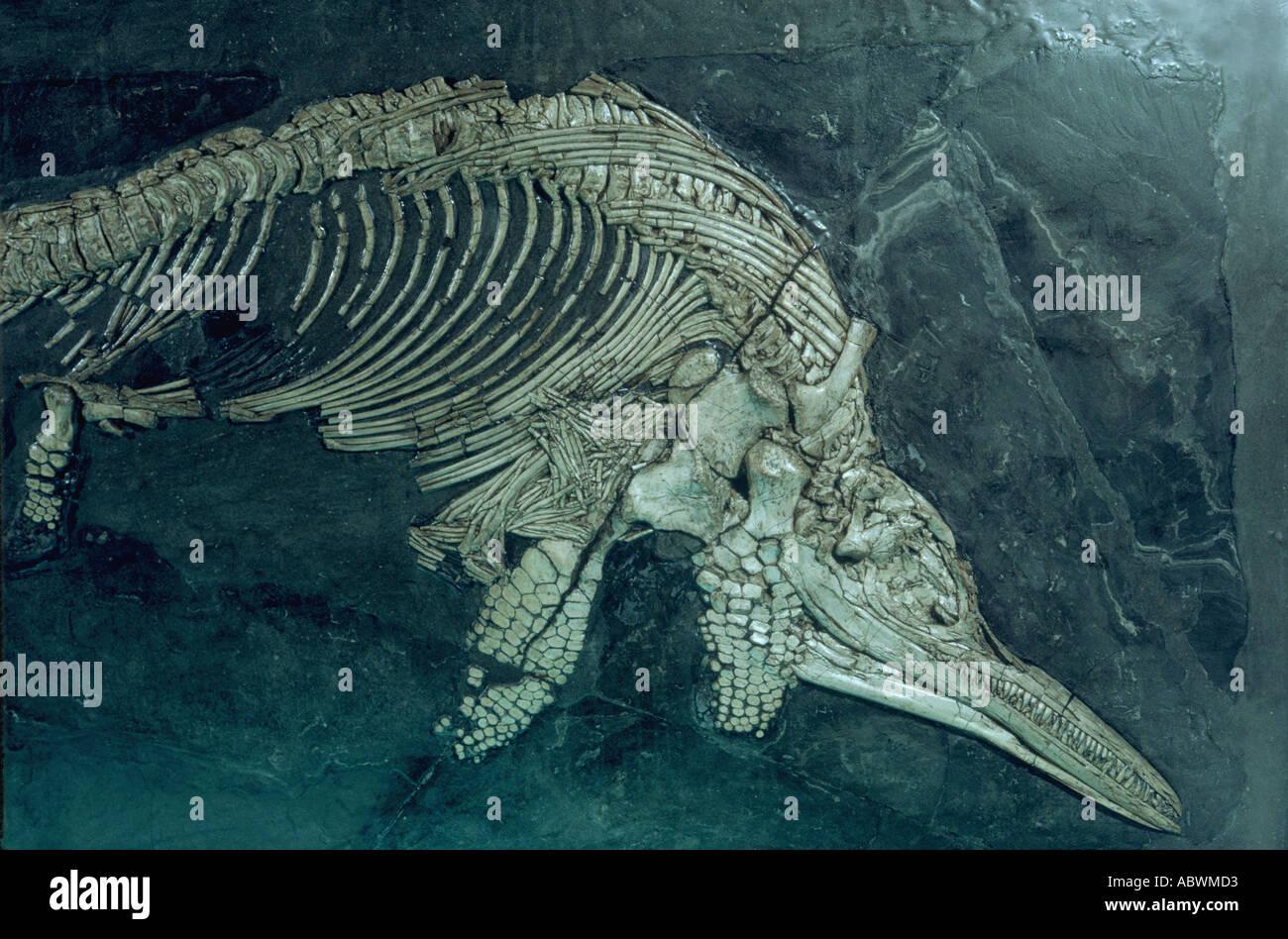 Ichthyosaurus intermedius, d'ichthyosaure Lias inférieur au niveau de la rue, du Jurassique Photo Stock