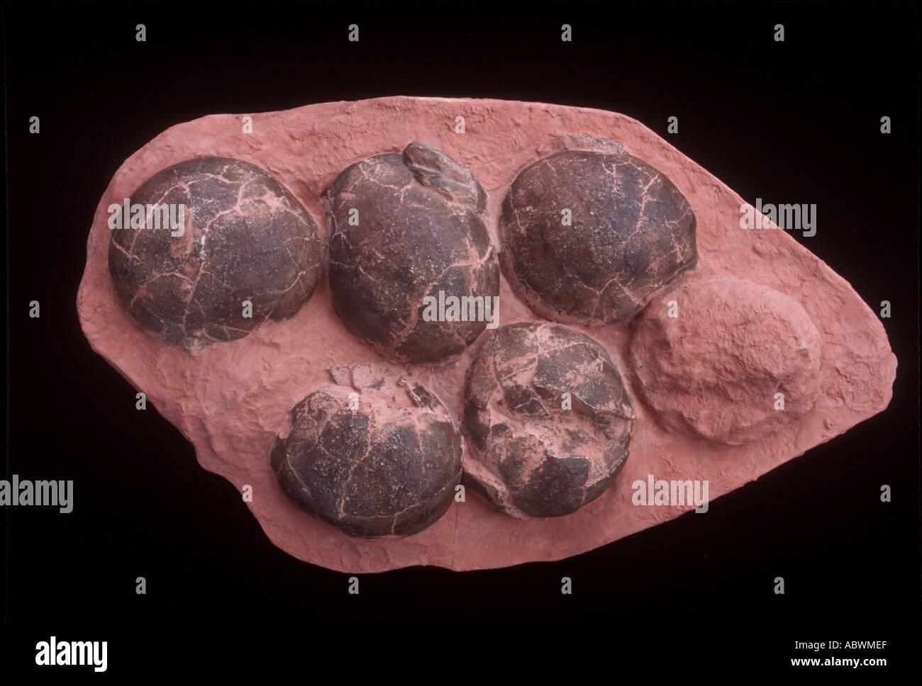 Nid avec 6 oeufs de dinosaures de Chine Banque D'Images
