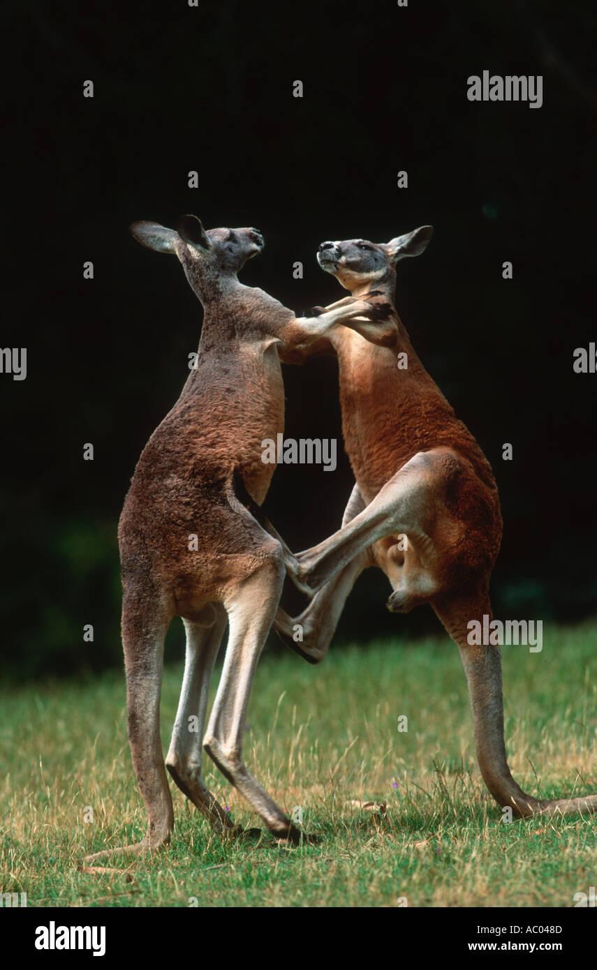 Macropus rufus kangourou rouge mâles adultes lutte pour la domination de l'Australie Photo Stock