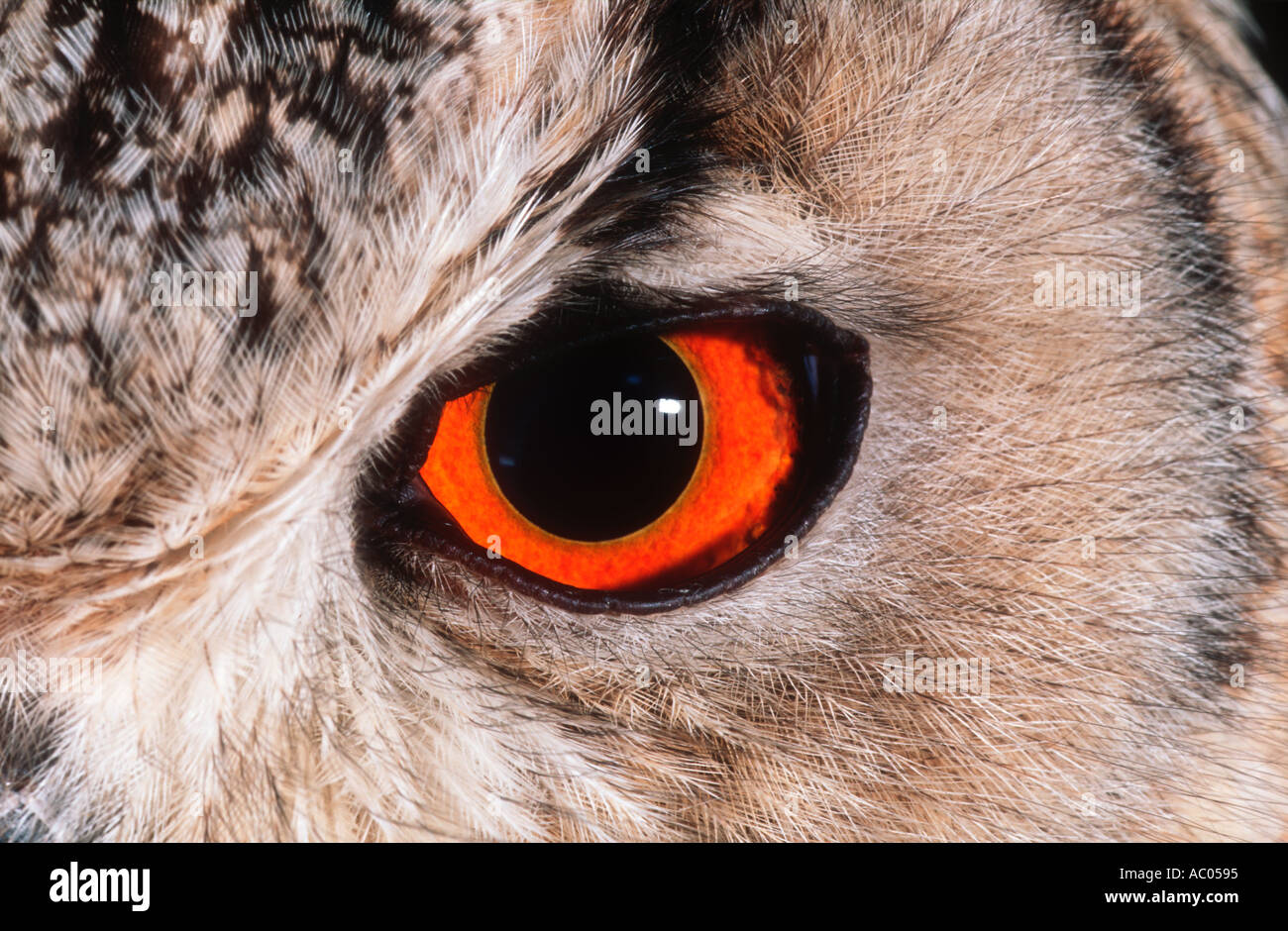 Eagle Owl Bubo bubo bengale bengalensis Inde Photo Stock