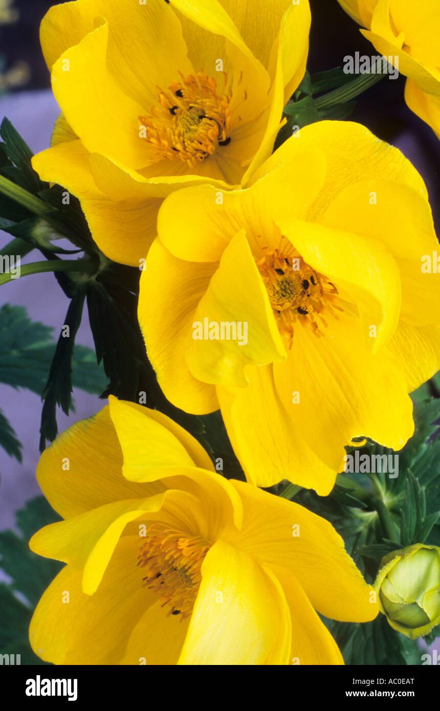 Trollius x cultorum \u0027Goliath\u0027, Globeflower, de grandes fleurs jaunes, jardin  plante, globeflowers fleur plante