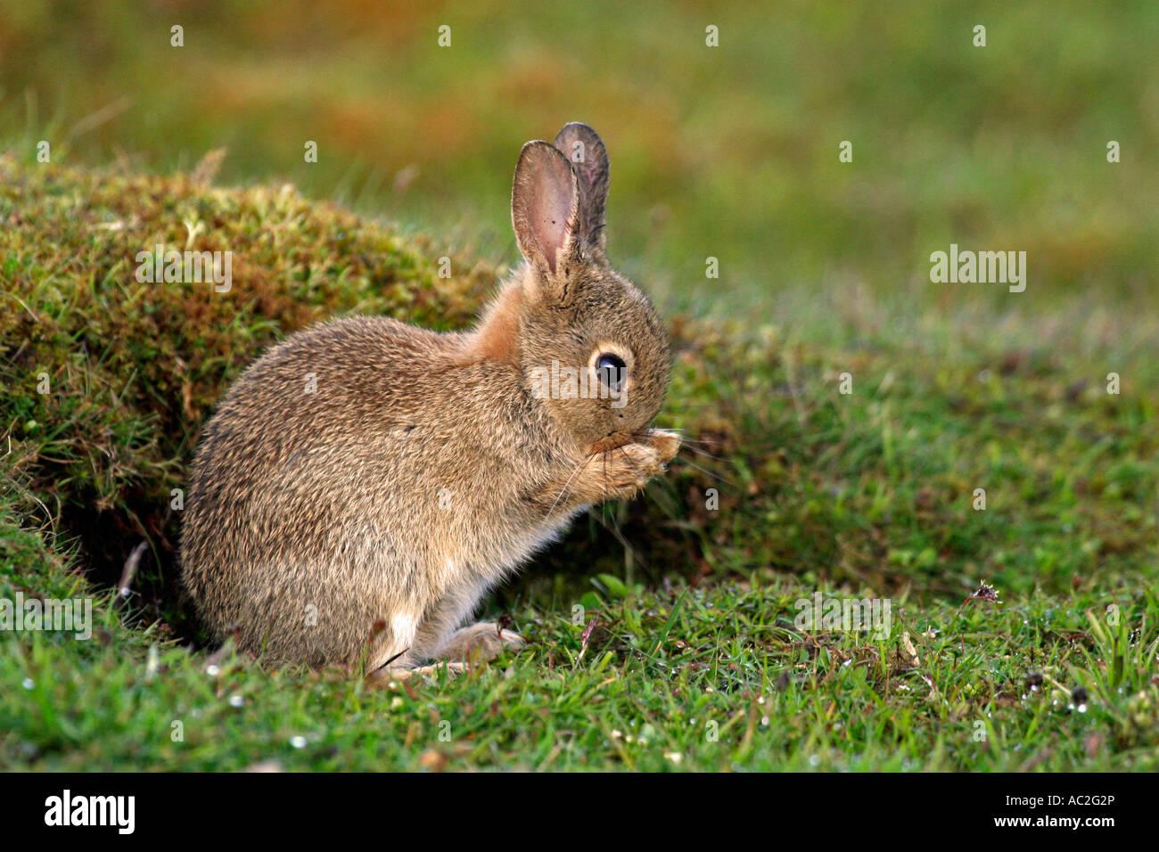 Lave-lapin à l'extérieur de terrier. Photo Stock