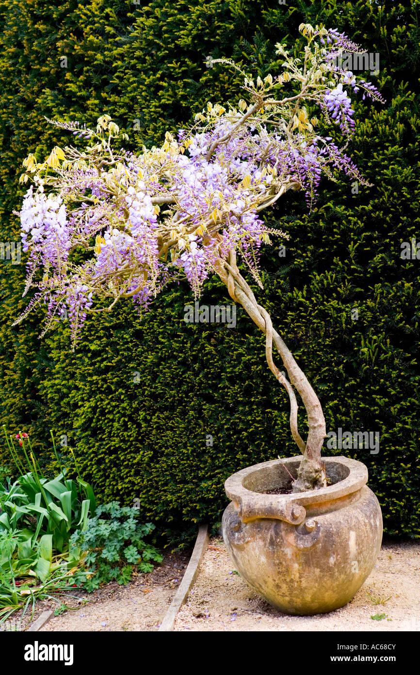Une Glycine En Pot glycine en pot en fleur banque d'images, photo stock