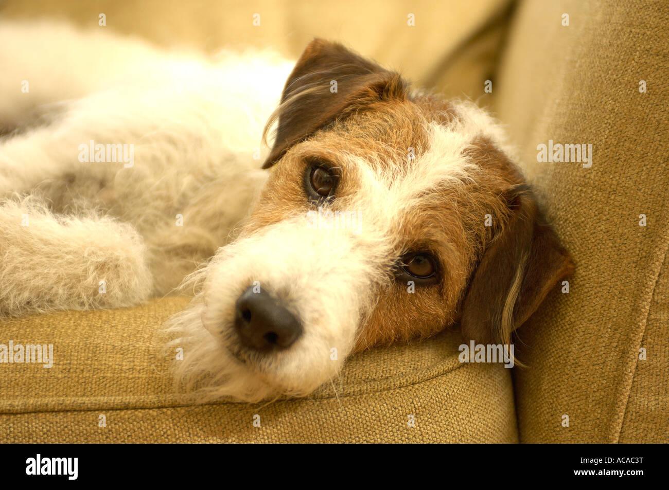 chien sur le canapé Photo Stock