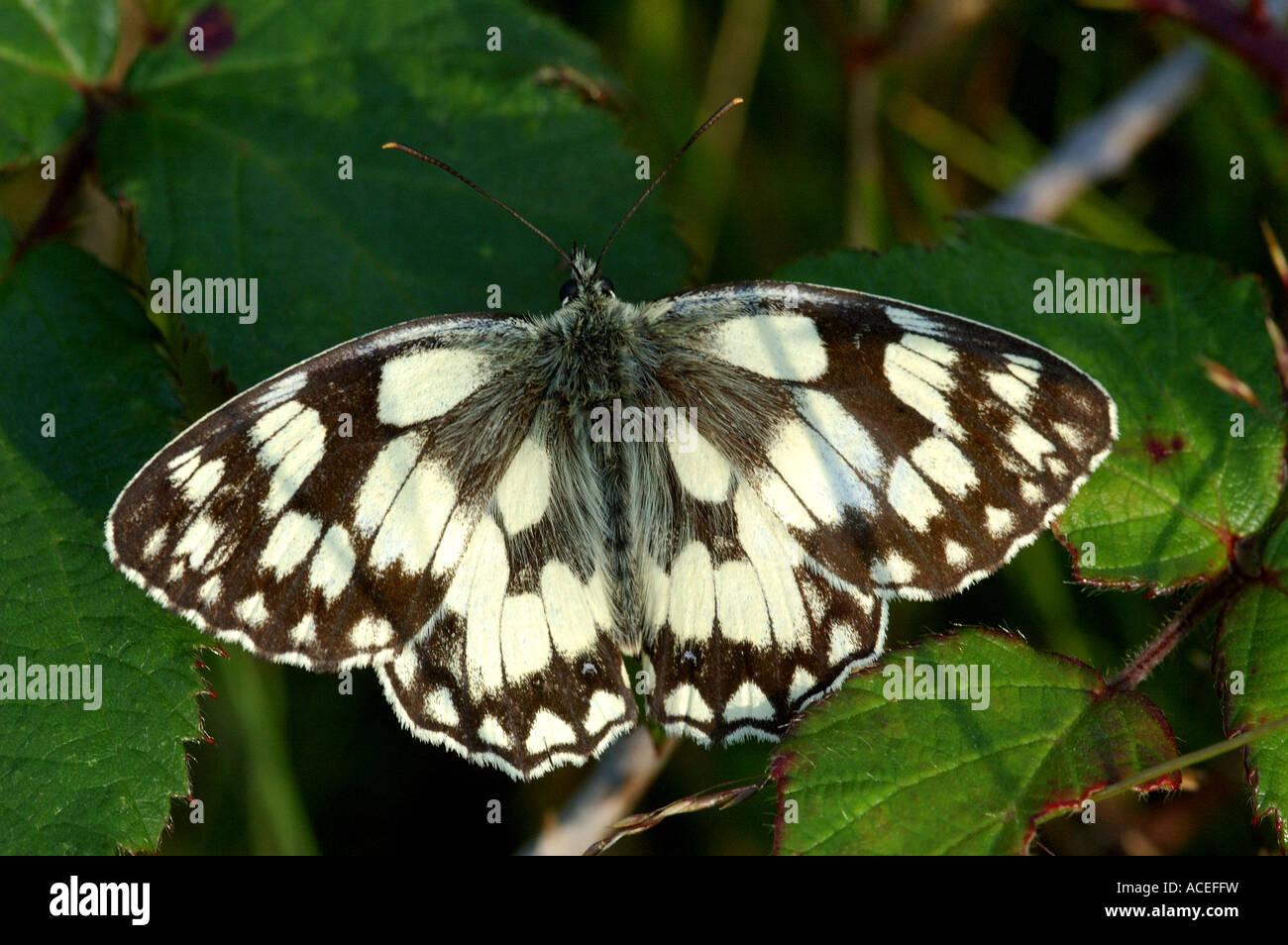 Papillon blanc marbré reposant sur brambles sur Greenham Common Nature Reserve Photo Stock