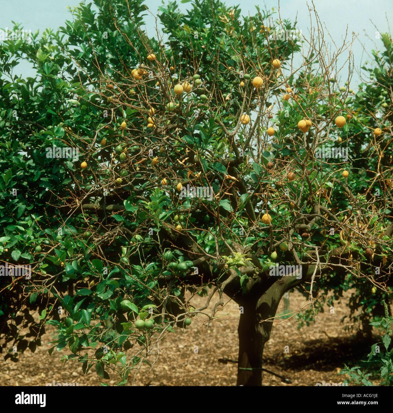 Phoma tracheiphila mal secco lemon tree branches avec dying Sicile Photo Stock