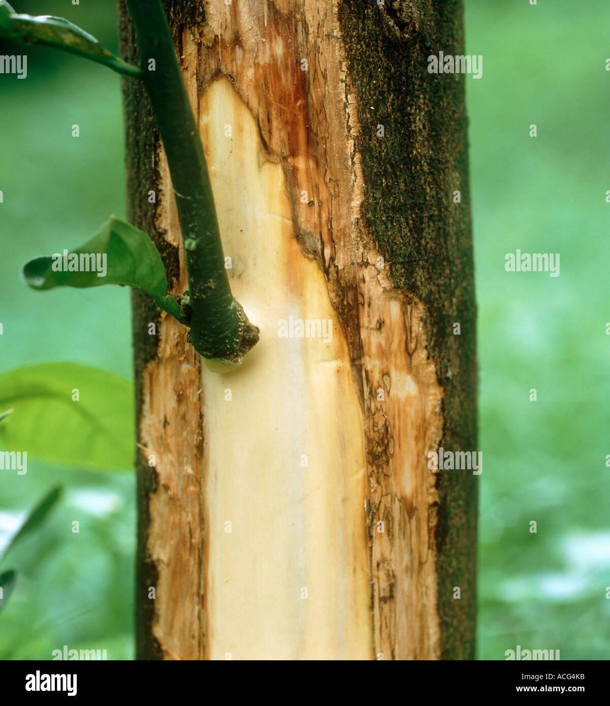 Phoma tracheiphila mal secco tissus vasculaires malades exposés sur tronc de citron Photo Stock
