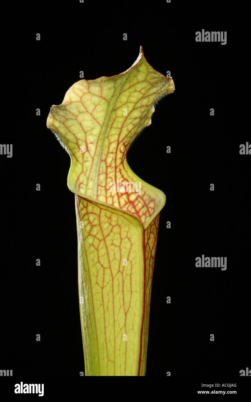 American sarracénie Sarracenia Photo Stock