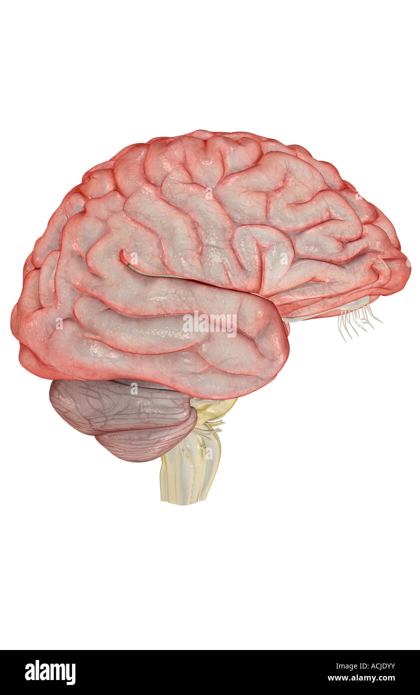 Le cerveau Photo Stock