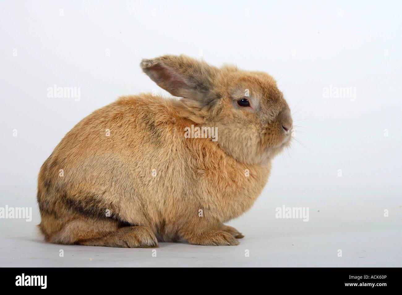 Côté lapin domestique Photo Stock