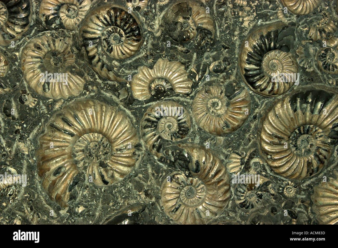 AMMONITES FOSSILES (Asteroceras) Jurassic Somerset Photo Stock