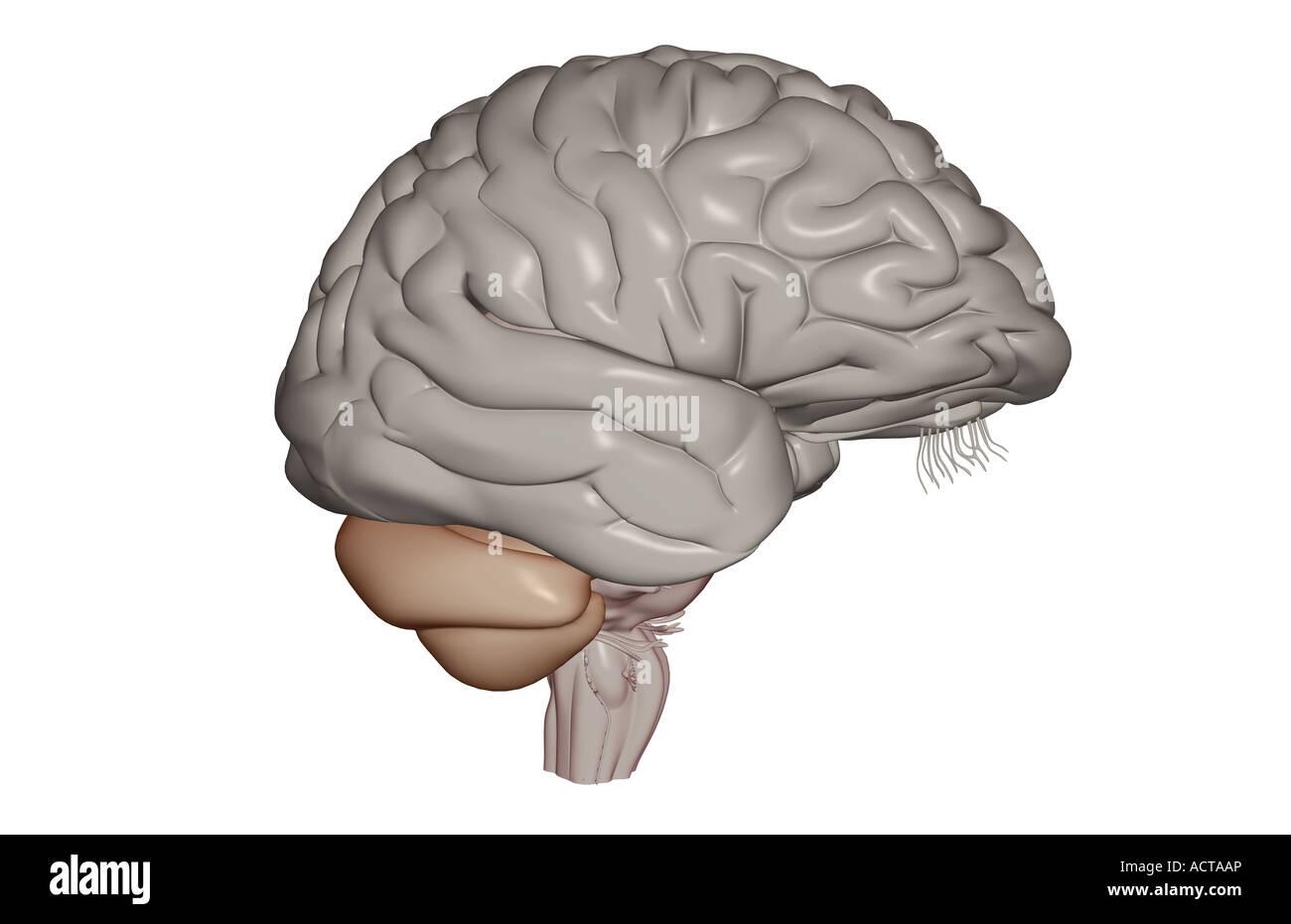 Le cerveau Photo Stock