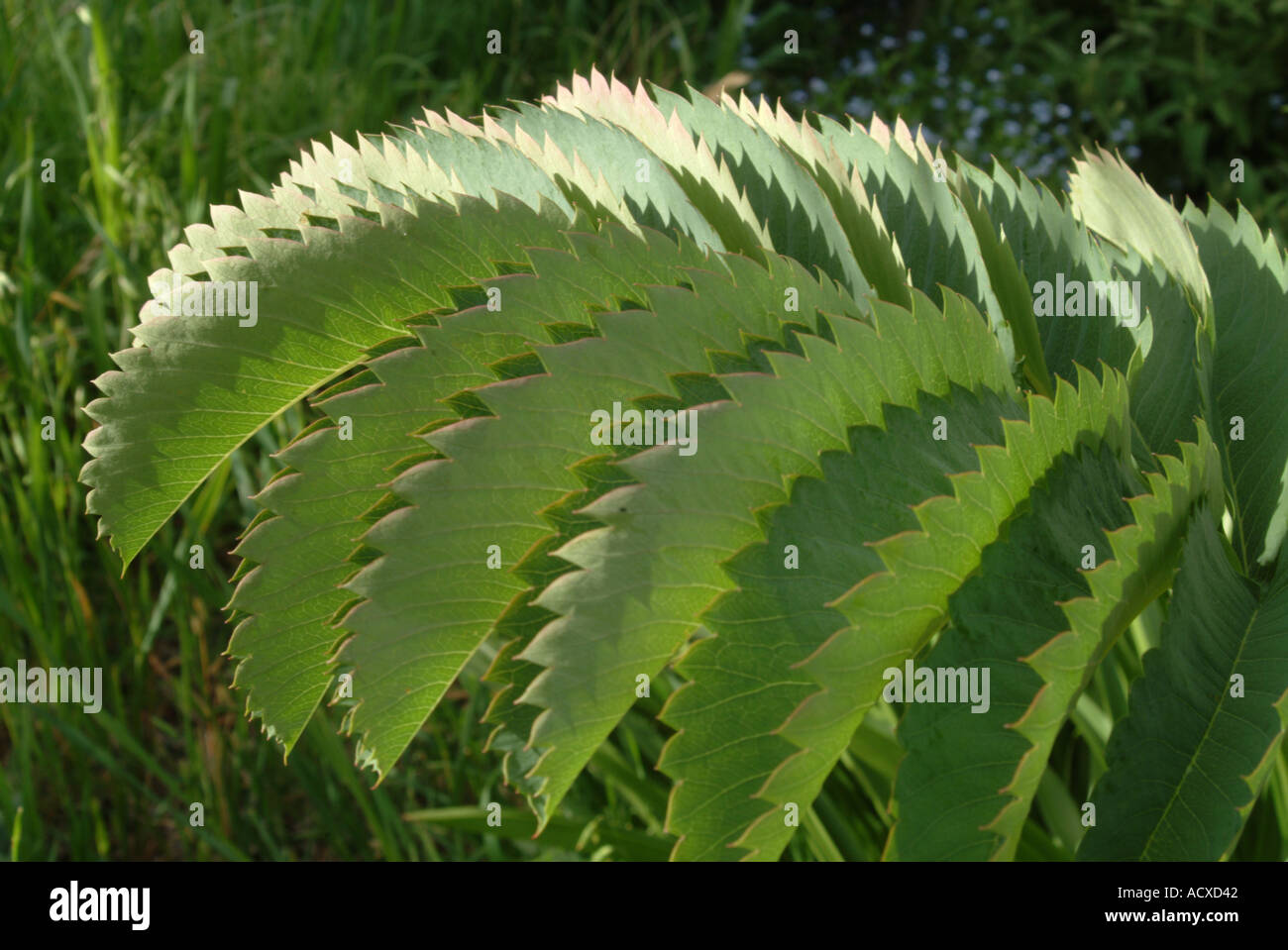Les feuilles dentelées de la Major Melianthus Banque D'Images