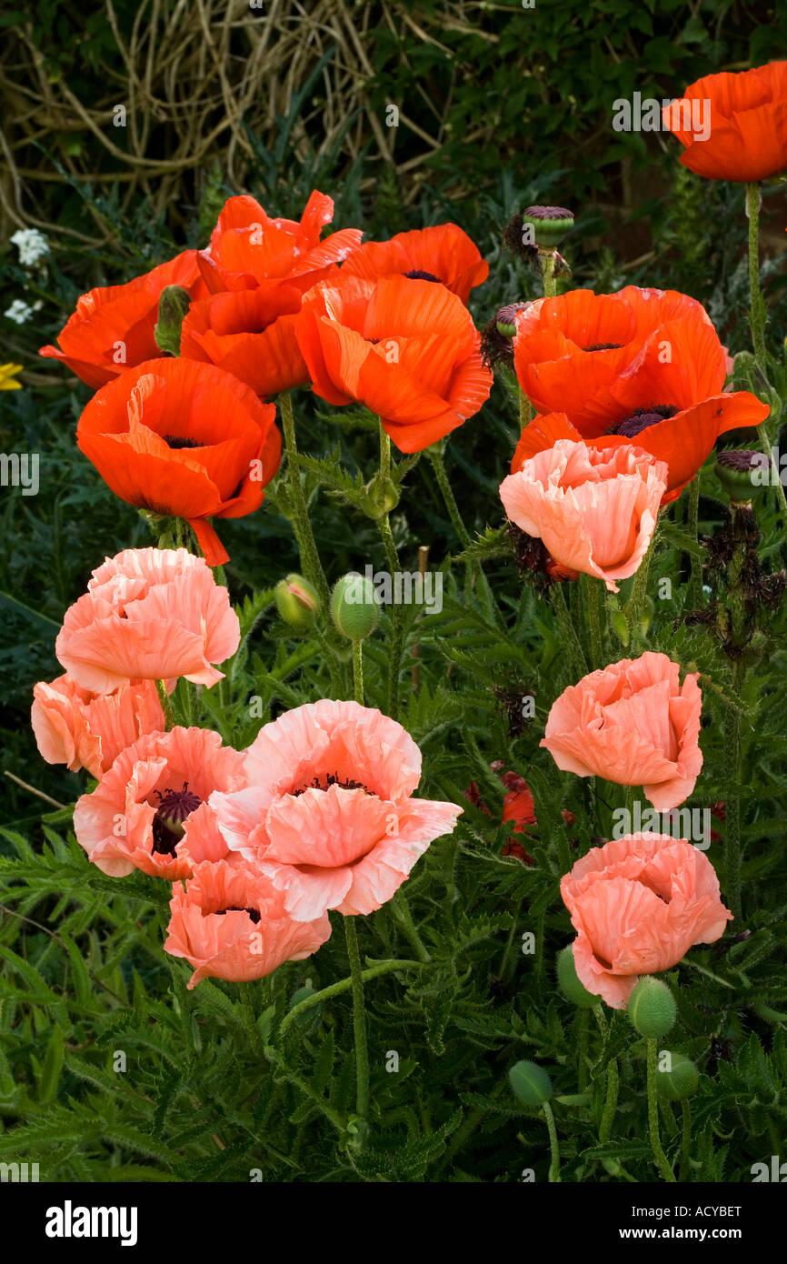 Melange Orange Et Rose mélange de fleurs de pavot rouge et rose avec fond vert