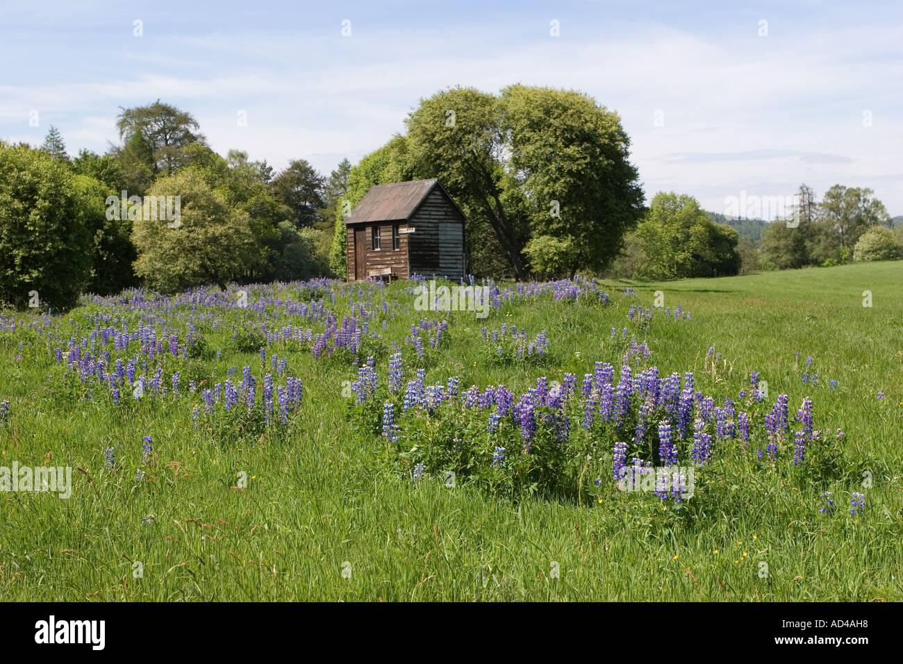 La pêche en rivière, refuge, cabane bothy et naturalisées lupins Balmoral, l'Aberdeenshire, le Photo Stock