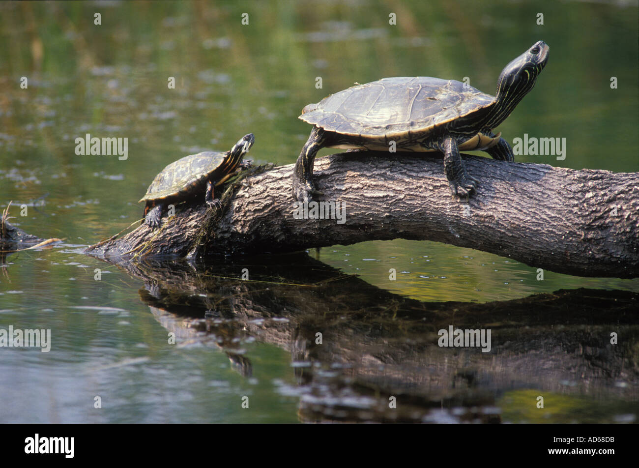 Les tortues peintes au soleil sur un journal Photo Stock