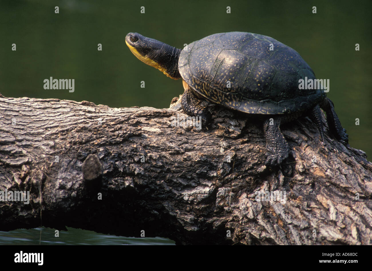 Tortue mouchetée s on a log pèlerin Photo Stock