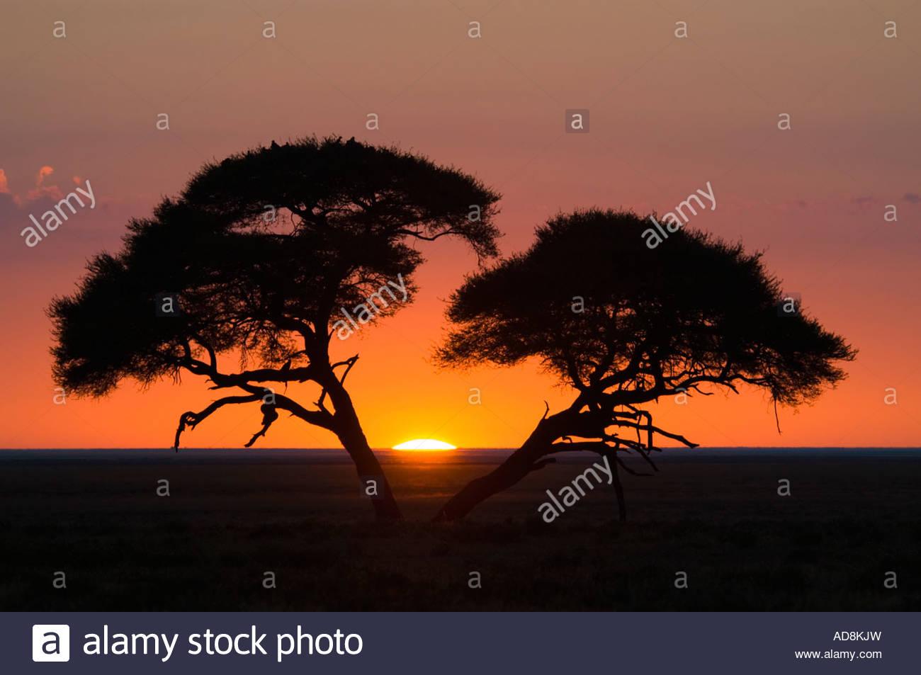 Lever du soleil africain d'acacias en silhouette. Parc National d'Etosha, Namibie, Afrique Photo Stock