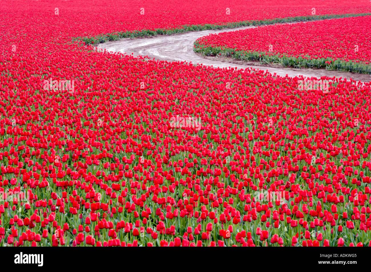 Domaine de tulipes rouges avec road près de Mt Vernon Washington Photo Stock
