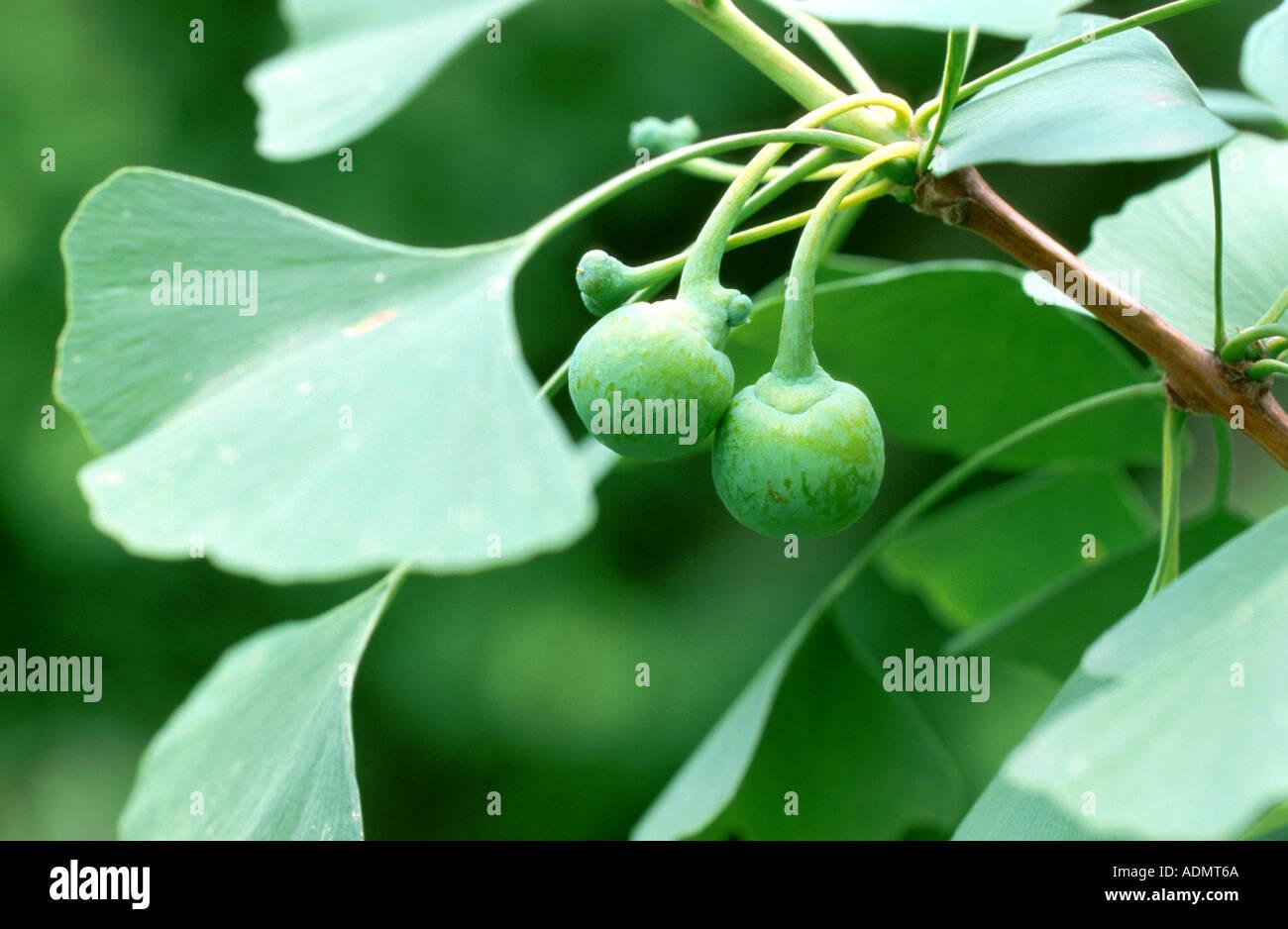 Graines d/'Arbre aux 40 écus /'Ginkgo biloba/' Gingko Maidenhair Tree seeds 10