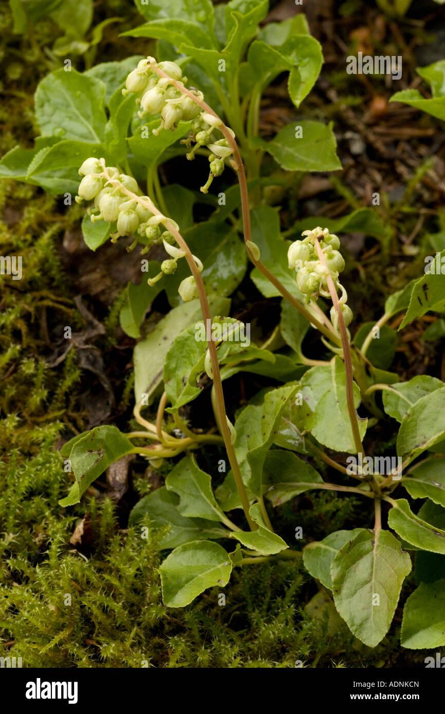 Vert hivernal à une face, ou vert hivernal dentelé, Orthilia secunda Scotland Banque D'Images