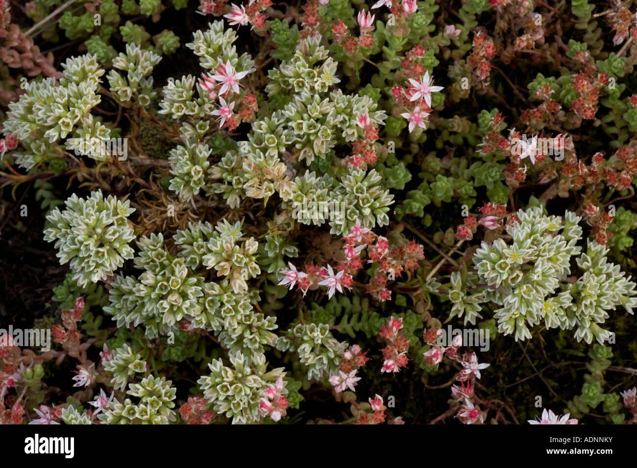 Knawel vivace Scleranthus perennis avec english stonecrop Pyrénées Banque D'Images