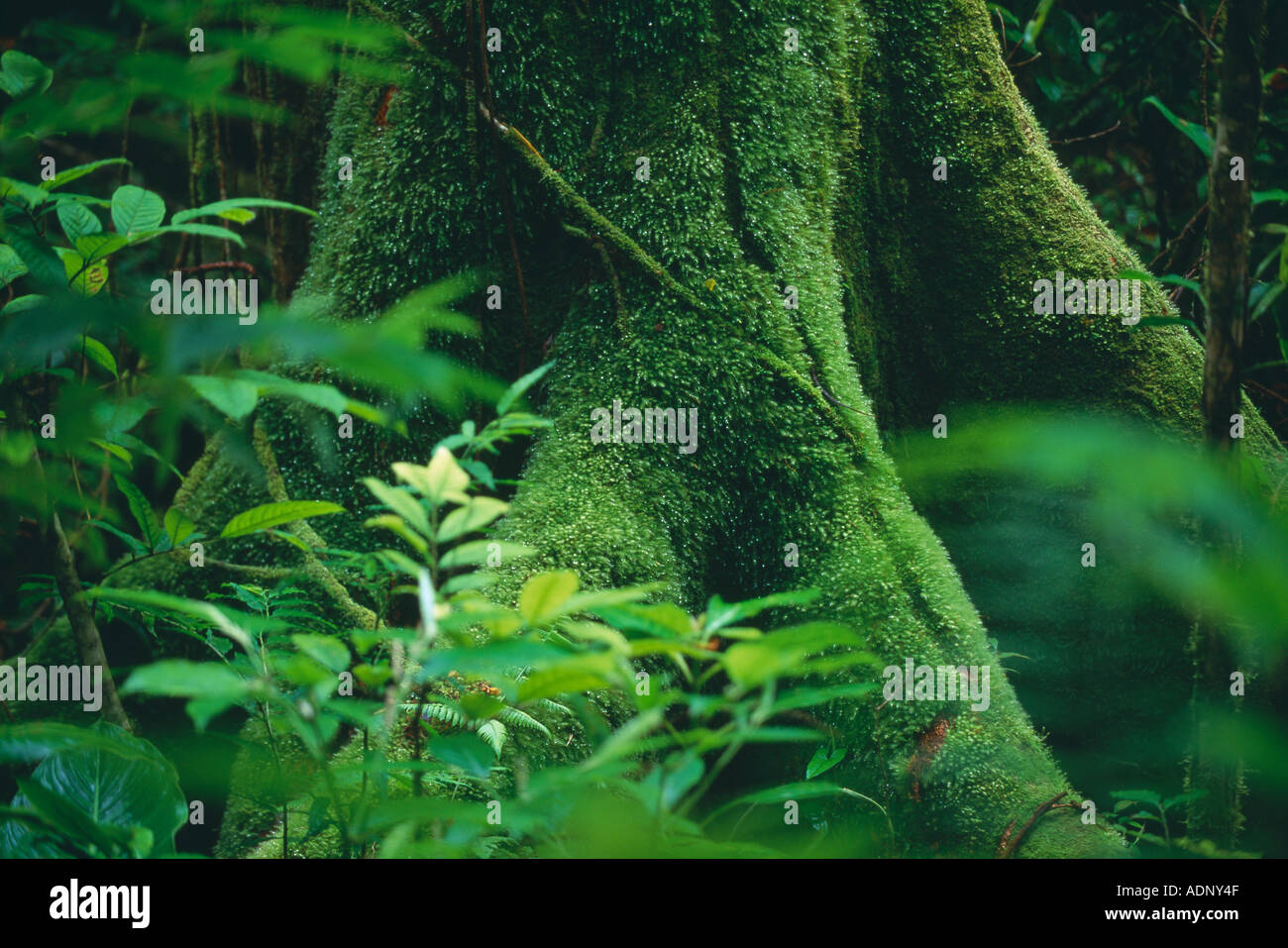 Les racines des arbres moussus des forêts tropicales nr La Fortuna Zona Norte Costa Rica Photo Stock