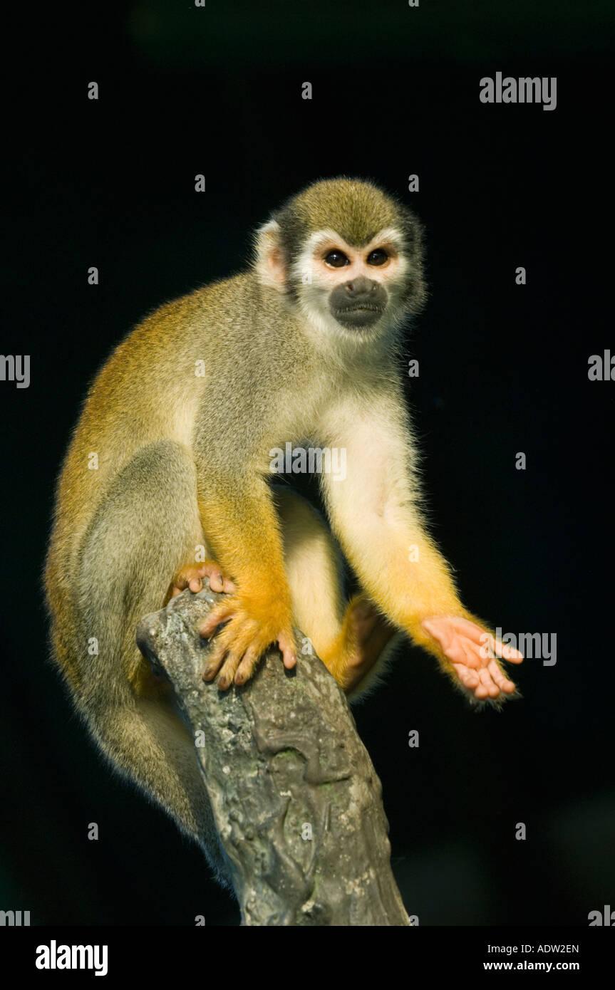Singe écureuil (Saimiri sciureus) Le Brésil de l'Amazonie, Rio Negro, sauvage Photo Stock