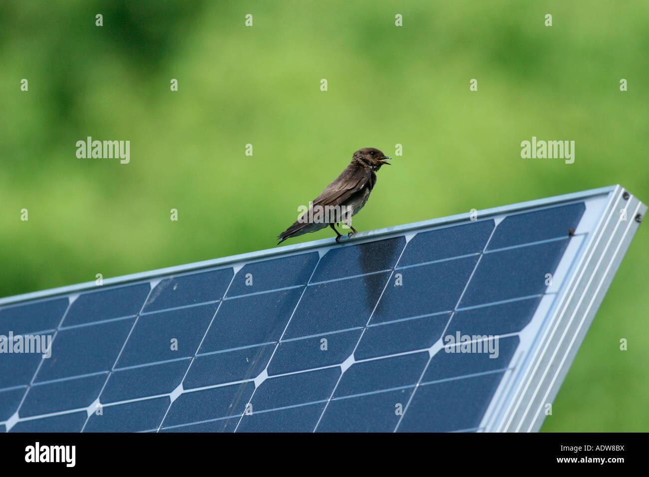 Hirondelle de reposant sur panneau solaire bec ouvert Photo Stock