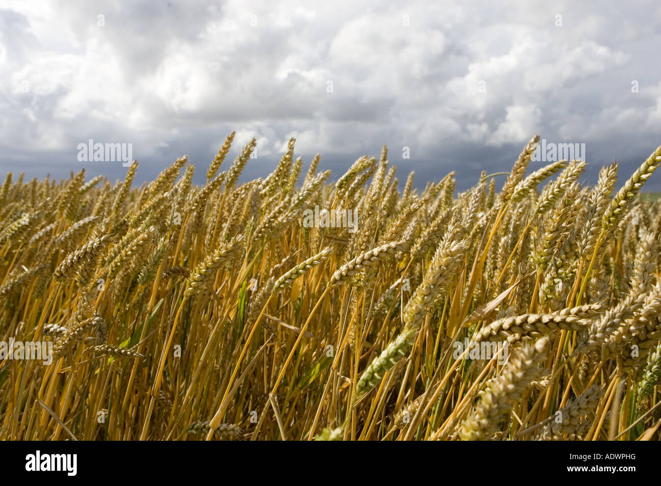 Champ de blé dans la région de Marlborough Downs Wiltshire, Angleterre, Royaume-Uni Photo Stock