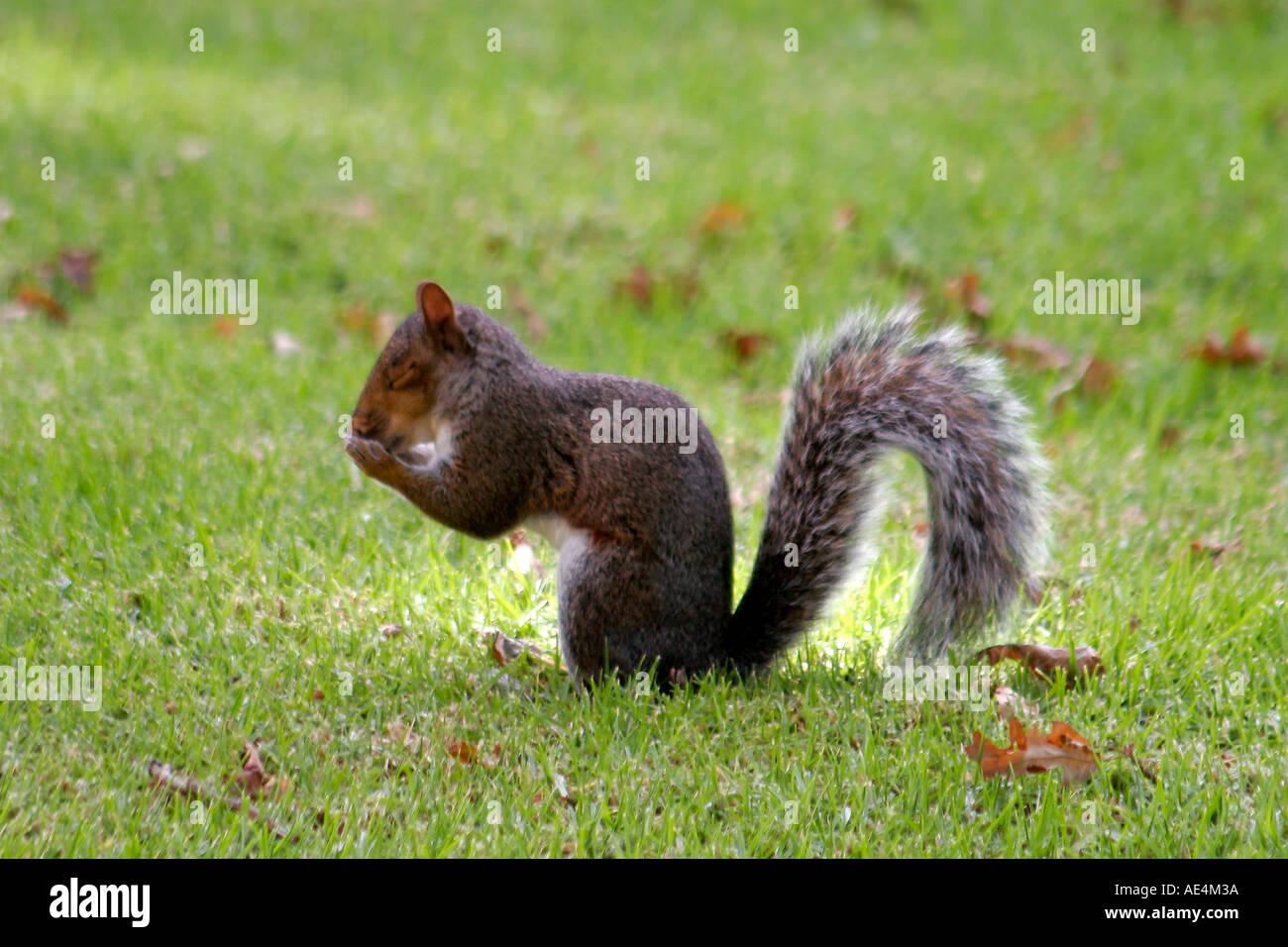 Vignoble du cap écureuil Constancia Photo Stock