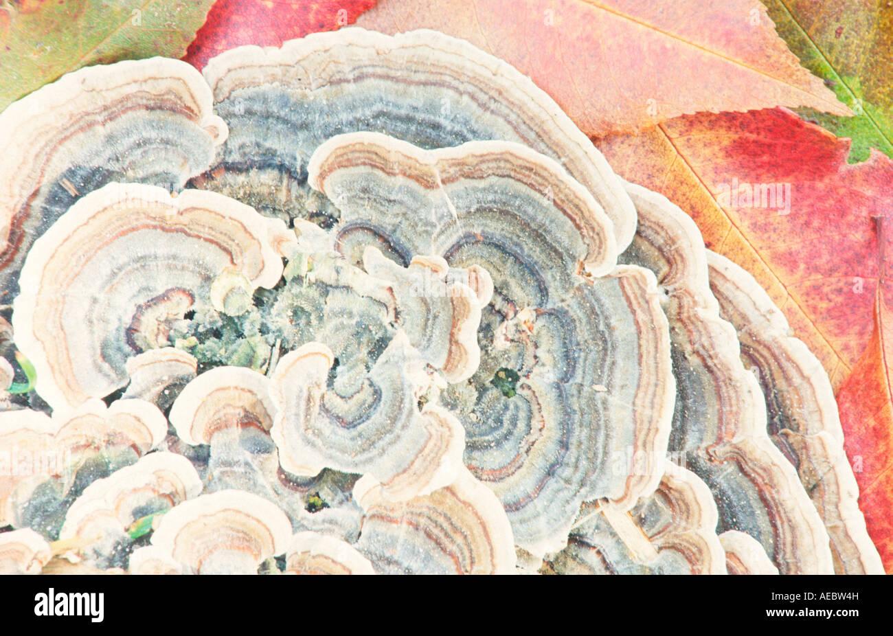 La Turquie mushroom Edgartown MA Photo Stock