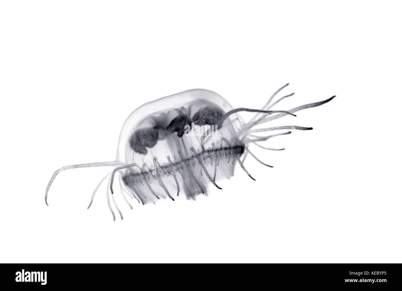 Une méduse d'eau douce (Craspedacusta sowerbyi). Méduse d'eau douce (Craspedacusta sowerbyi). Banque D'Images