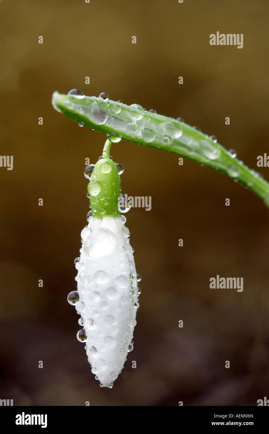 Snowdrop Galanthus aimant avec la rosée Wilsonville Photo Stock